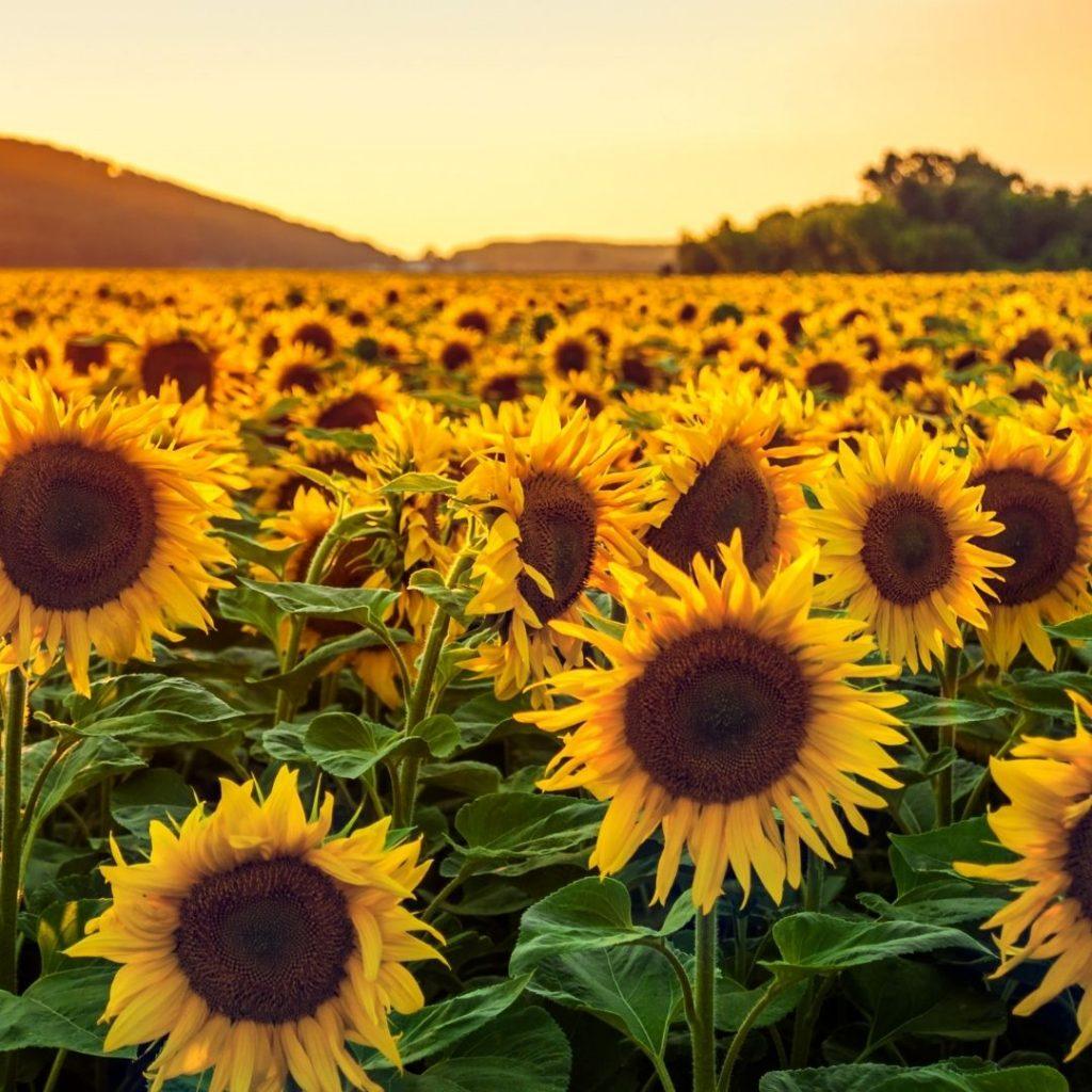 Słonecznik pochodzi z rodziny astrowate.